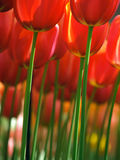 Huge red tulips Royalty Free Stock Photo