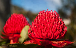 Huge red Waratah flowerheads in spring. Two Waratah vivid red flowers mirroring each other in the Rhododendron Garden in Blackheath during the Spring Festival Stock Images