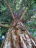 Huge Redwood Tree. In California Forest stock photo