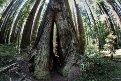 Huge Redwood Trees in Redwood National Park, California. Massive Redwood trees grow in Redwood National Park found along the coast of Northern California royalty free stock photography