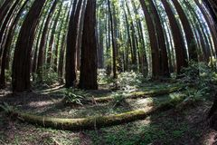 Huge Redwood Trees in Redwood National Park, California. Massive Redwood trees grow in Redwood National Park found along the coast of Northern California stock photos