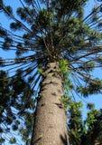 High evergreen coniferous tree. Araucaria araucana. Stock Image