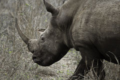 Huge Rhino Royalty Free Stock Photography
