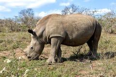 Huge rhino at Hluhluwe-Umfolozi Stock Photography
