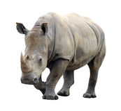 Huge rhino isolated Royalty Free Stock Photo
