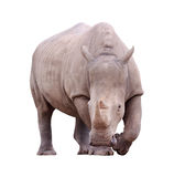 Huge rhino isolated Stock Images