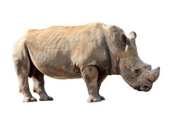 Huge rhino isolated Stock Photos