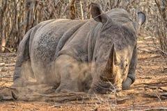Huge rhino Royalty Free Stock Image