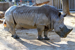 Huge rhinoceros Royalty Free Stock Photos
