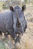 Huge rhinoceros in vertical photograph Stock Images
