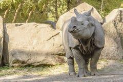 Huge Rhinoceros Walk. In the Safari stock photography