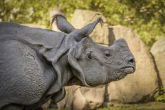 Huge Rhinoceros Walk stock photos