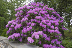 Huge rhododendron flowers in full bloom royalty free stock images