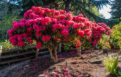 Huge Rhododendrons of Burien 1. The state flower of Washington grows big in Burien, Washington stock photo