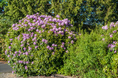 Huge Rhododendrons of Burien 3. The state flower of Washington grows big in Burien, Washington stock images