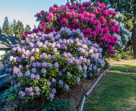 Huge Rhododendrons of Burien 4. The state flower of Washington grows big in Burien, Washington royalty free stock image