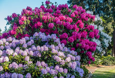 Huge Rhododendrons of Burien 5. The state flower of Washington grows big in Burien, Washington royalty free stock image