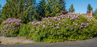 Huge Rhododendrons of Burien 2. The state flower of Washington grows big in Burien, Washington royalty free stock images