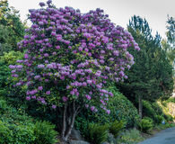 Huge Rhododendrons of Burien 10. The state flower of Washington grows big in Burien, Washington royalty free stock image