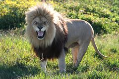 Huge Roaring Male Lion. An enormous and magnificent male lion roaring in the African bush Stock Photography