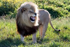 Huge Roaring Male Lion. An enormous and magnificent male lion roaring in the African bush Royalty Free Stock Image