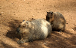 Huge rodent Royalty Free Stock Images