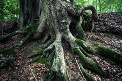 Huge roots of ancient  beech tree in rainforest Vinatovaca in Se. Closeup of huge roots of ancient  beech tree in rainforest Vinatovaca in Serbia, East Europe Stock Photos