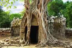 Huge Roots Of Tree On The Temple Near Angkor Wat Royalty Free Stock Photos