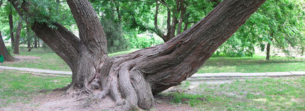 Huge roots of an old tree in green park, panorama image Stock Images