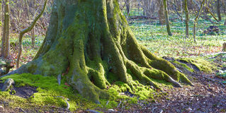 Huge roots and tree Stock Images
