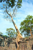 Huge roots of tree on the temple near Angkor wat Royalty Free Stock Photography