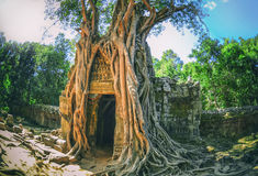Huge roots of tropical tree on  Ta Som Gate Stock Images