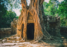 Huge roots of tropical tree on  Ta Som Gate Royalty Free Stock Images