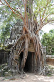 Huge roots of tropical tree on the Ta Som Gate nea Stock Image