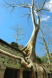 Huge roots of tropical tree on the  temple. Stock Image