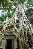 Huge roots of tropical tree on the  temple Stock Image