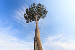 A huge rubber tree Royalty Free Stock Photo