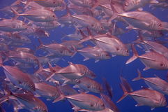 Huge school of fish. Huge school of Jacks swimming in the tropical waters of the Philippines Stock Photography