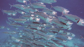 Huge school of Indian Mackerel feeding in indian ocean. Large group of fish swimming in slow motion 120 fps stock video