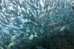Huge school of jackfish. A massive school of jackfish also known as trevally in shallow tropical waters royalty free stock photo