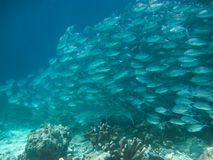 Huge school of jackfish Royalty Free Stock Photos