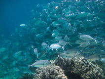 Huge school of jackfish. Under water Royalty Free Stock Images
