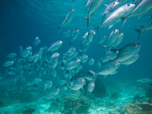 Huge school of jackfish Royalty Free Stock Image