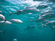 Huge school of jackfish Stock Images