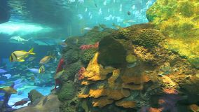 Huge schools of tropical fish swimming in a coral reef stock footage