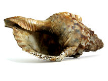 Huge Sea Shell Royalty Free Stock Photography