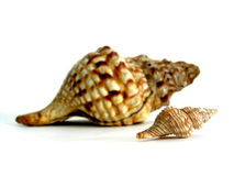 Huge Sea Shell stock images