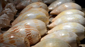 Huge sea shells Stock Image
