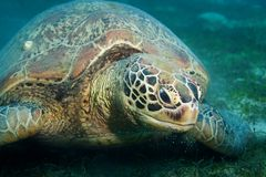 Huge sea turtle eat seaweed Royalty Free Stock Photography