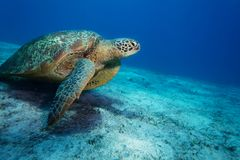 Huge sea turtle on sandy bottom Royalty Free Stock Images